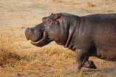 Charging hippopotamus — Stock Photo