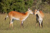 Red lechwe antelopes — Stock Photo