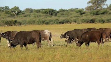 African buffalo herd — Stock Video