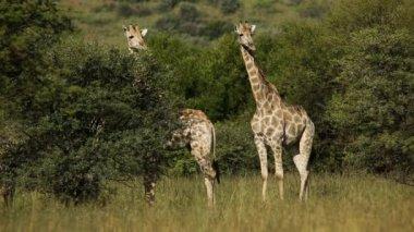 Giraffes in natural habitat — Stock Video