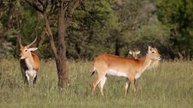 Red lechwe antelopes — Stock Video