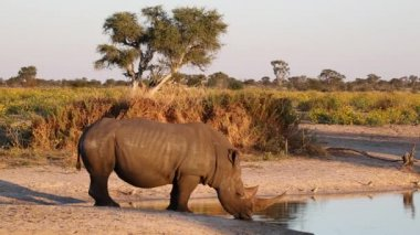 White rhinoceros drinking — Stock Video