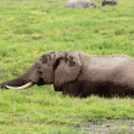 African elephant in marshland — Stock Photo #49146025