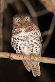 African barred owlet — Stock Photo