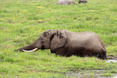 African elephant in marshland — Stock Photo