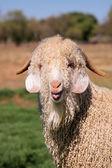 Angora goat — Stock Photo
