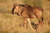 Blue wildebeest calf — Foto Stock