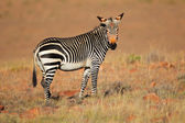 Cape Mountain Zebra — Stock fotografie