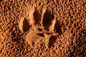 Lion paw imprint — Stock fotografie