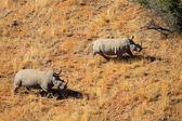 белый носорог пара — Стоковое фото