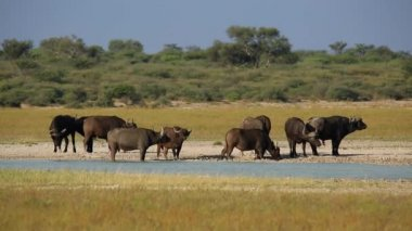 Herd of African or Cape buffaloes at a waterhole — Stock Video