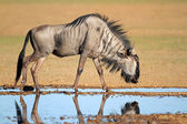 Blue wildebeest at waterhole — Stock Photo