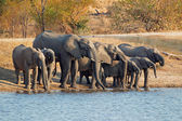 Elephants drinking water — Stock Photo