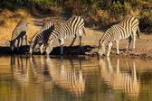 Plains Zebras drinking — Stock Photo