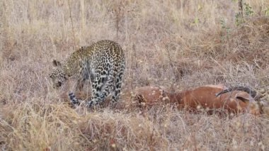 Leopard with prey — Stock Video