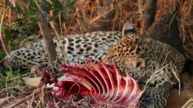 Feeding leopard — Stock Video