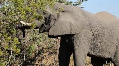 African elephant feeding — Stock Video