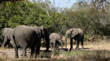 African elephants drinking water — Stock Video