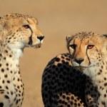 Cheetah portrait — Stock Photo #49871095