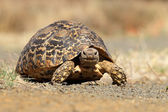 Leopard tortoise — Stock Photo