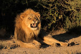 Male African lion snarling — Stock Photo