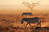 Plains zebras in dust — 图库照片