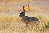 Scrub hare — Photo