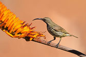 Scarlet-chested sunbird — Stock Photo