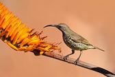 Sunbird pecho escarlata — Foto de Stock