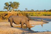 White rhinoceros drinking — Stock Photo