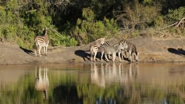 Plains Zebras at waterhole — Stock Video