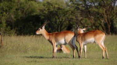 Playful red lechwe antelopes — Stock Video