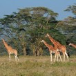 Rothschilds giraffes — Stock Photo #50234939