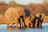 Agua potable de los elefantes — Foto de Stock