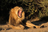 Male African lion yawning — Stock Photo