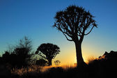 Quiver tree silhouette — Stock Photo