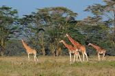 Rothschilds giraffes — Stock Photo