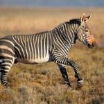 Cape Mountain Zebra — Stock Photo #51402817
