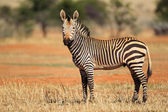 Hartmanns Mountain Zebra — Stock Photo