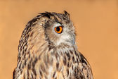 Bengal eagle owl — Stock Photo