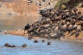 Wildebeest migration — Stock Photo