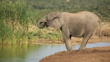 A young African elephant drinking water — Stock Video