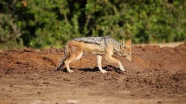A wary black-backed jackal — Vídeo de stock