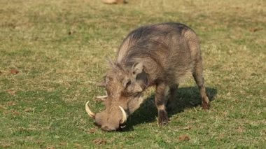 A male warthog feeding on green grass — Stock Video
