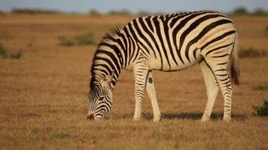 A plains Zebra grazing in grassland — Stock Video