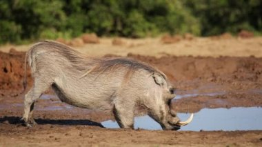 A male warthog drinking water — Stock Video