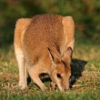 Agile Wallaby — Stock Photo #51761789