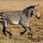 Cape Mountain Zebra — Stock Photo #51761905