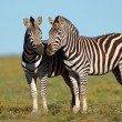 Plains Zebras — Stock Photo #51762097