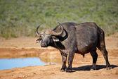 Afrikanischer büffel — Stockfoto